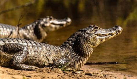 Ocho animales que viven en ríos   Mis animales