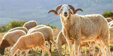 Offrir un mouton pour l'aid 2014 – Coeur Maroc