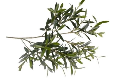 Olivo, acebuche, aceite de oliva y dieta mediterránea
