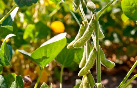 Opinion: Funds cautious toward CBOT soybeans despite U.S ...