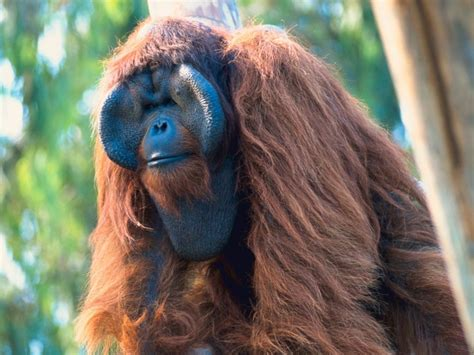 Orangutan | The Biggest Animals Kingdom