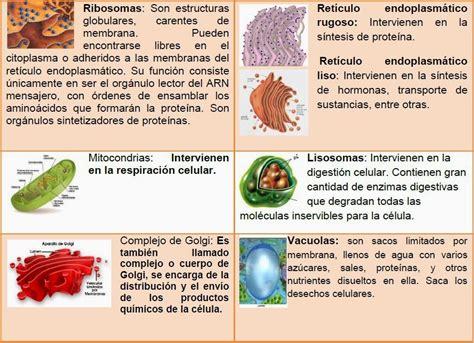 Organelos celulares | Cèlula