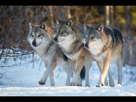 Organización de una manada de lobos   www.tispain.com ...