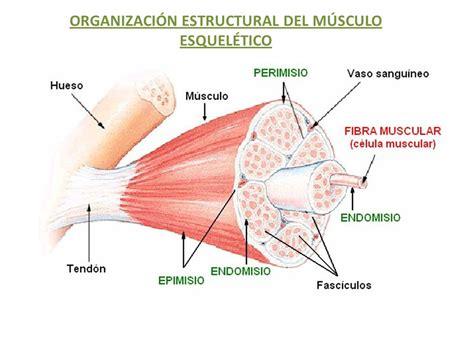 ORGANIZACIÓN ESTRUCTURAL DEL MÚSCULO ESQUELÉTICO   ppt ...