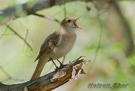 Oriental Bird Club Image Database : Common Nightingale ...