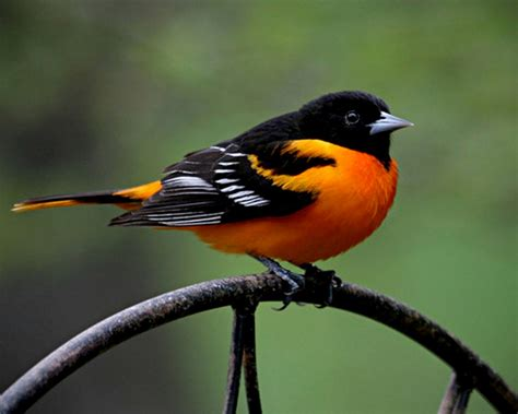 ORIOLE | Bird Photos | Pinterest