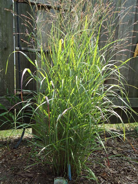 Ornamental Grasses | Terri s Notebook