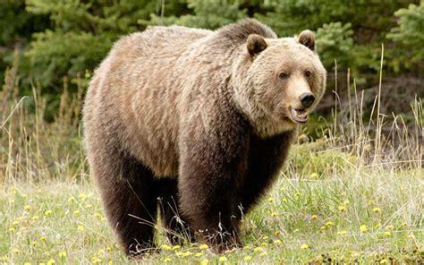 Oso Grizzly   Información y Características