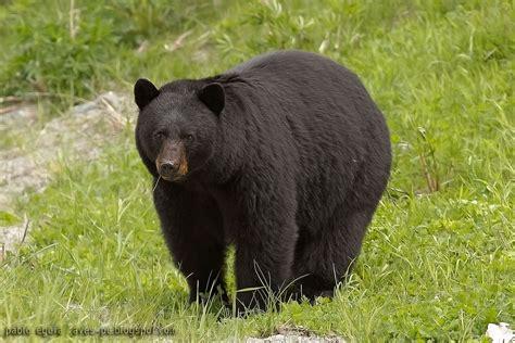 Oso Negro  Ursus americanus    EcoRegistros