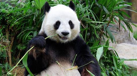 Oso Panda: entre el cariño y terror