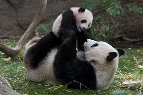 Oso panda finge un embarazo para obtener más comida ...
