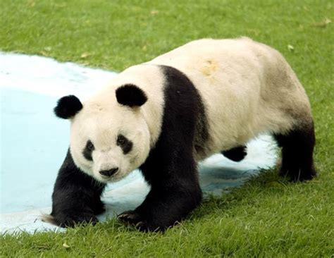 Oso Panda Image   FONDOS WALL