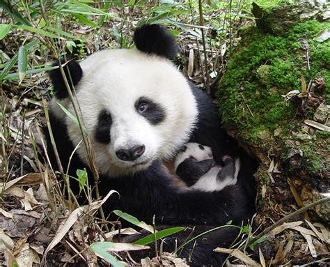 Oso Panda | WWF España