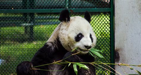Oso, panda, zoologico, animales, blanco, negro, bambu ...