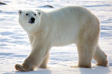 Oso polar HD :: Imágenes y fotos