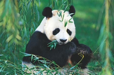 Osos Panda Caracter Sticas De Los Osos Panda Fotos De ...