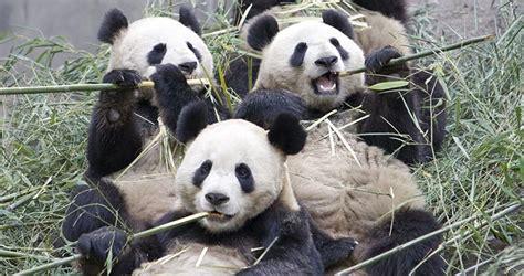 Osos panda gigantes :: Imágenes y fotos