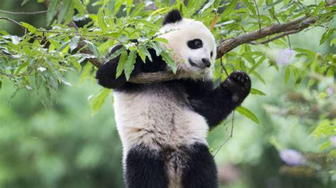 Osos Pandas 41649 | VIZUALIZE