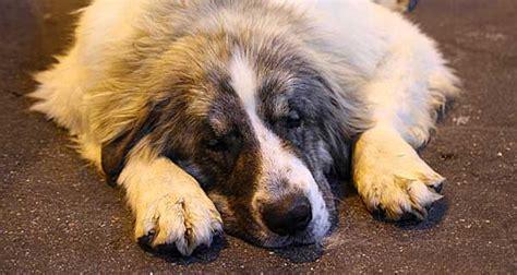 Osteosarcoma en perros, nuevo estudio en marcha   www ...