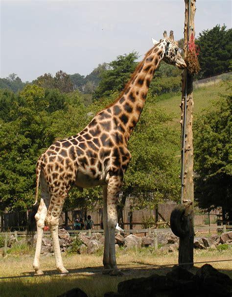 Overleg:Giraffe (dier) - Wikipedia
