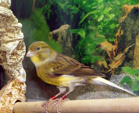pajaro canario: características, alimentación, hábitat y mas