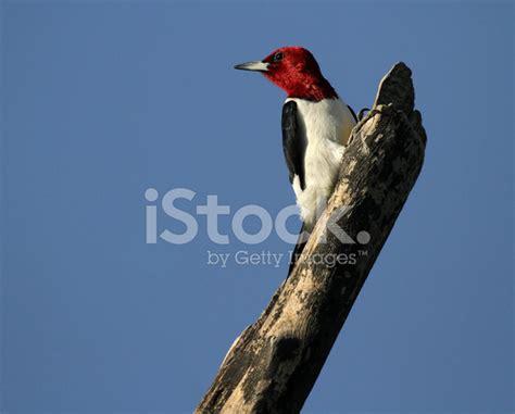 Pájaro Carpintero Cabeza Roja Posando fotografías de stock ...