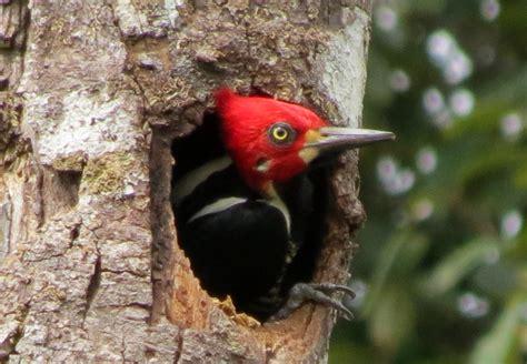 Pájaro Carpintero en su nido, Dryocopus lineatus, Lineated ...