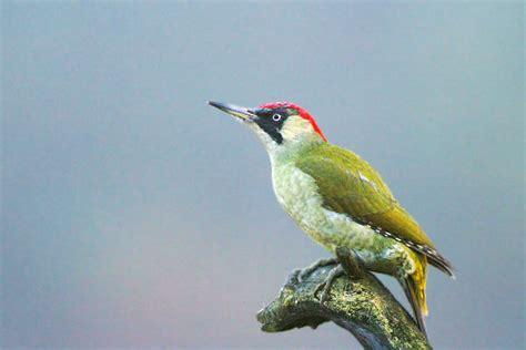 Pájaro carpintero verde fotos Pájaro carpintero Fotos ...