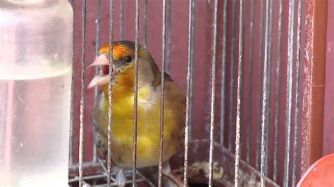 Pájaro Mixto  Jilguero y Canario  cantando | Jilgueros ...