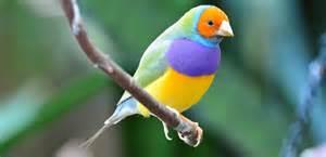 Pájaros Diamante de Gould :: Imágenes y fotos
