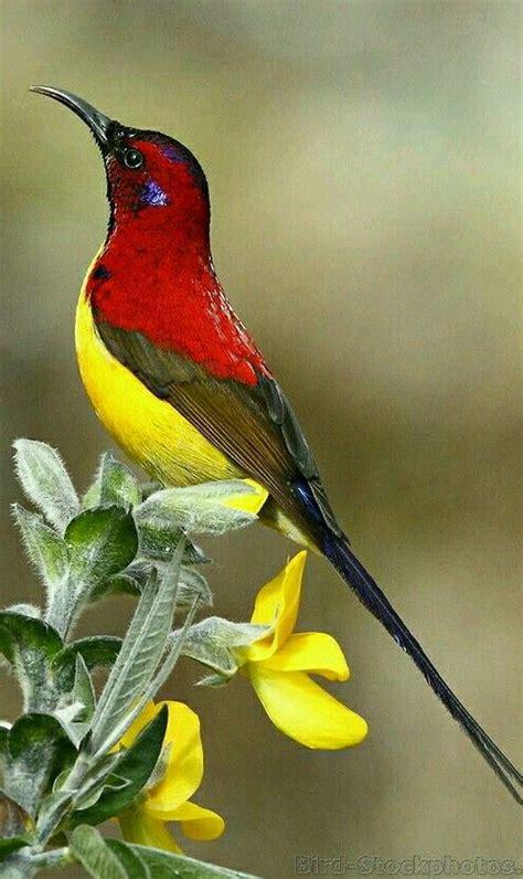 Pájaros exóticos   Sunbird de la señora Gould es una ...
