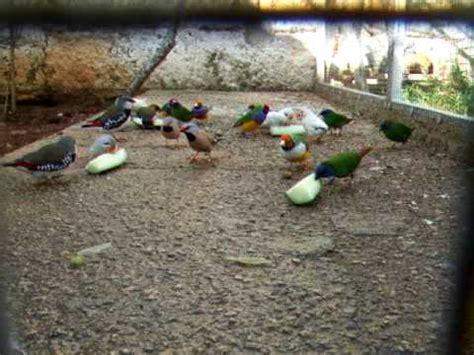pajaros exoticos. Tricolores, papagayos, enmascarados ...