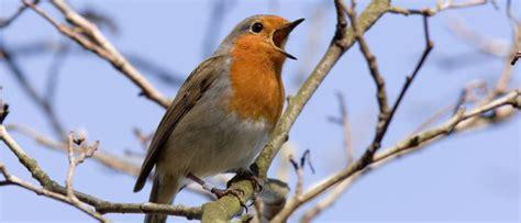 Pájaros que cantan   Bekia Mascotas