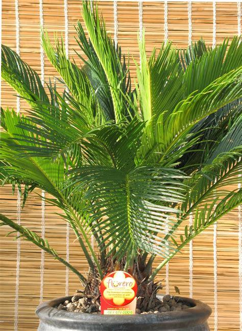 Palma de iglesia (Cica Cycas revoluta) - Plantas de interior