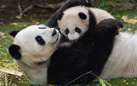 Panda and Baby wallpapers and images   wallpapers ...