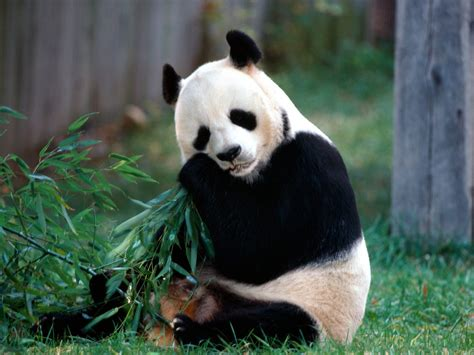 Pandas images Sweet Panda HD wallpaper and background ...