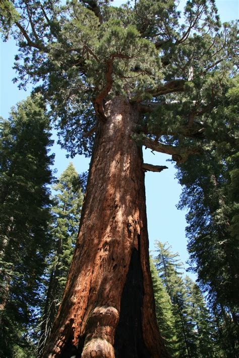 Panoramio - Photo of Mariposa Grove - Grizzly Giant ...