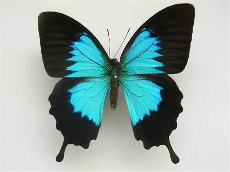 Papilio ulysses - Wikipedia