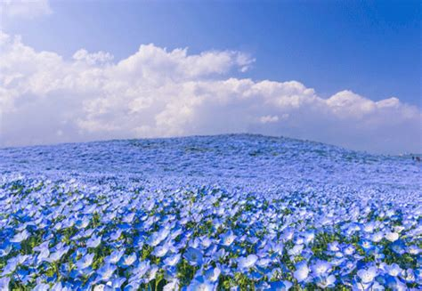 Parque no Japão se transforma em 'mar de flores' na ...
