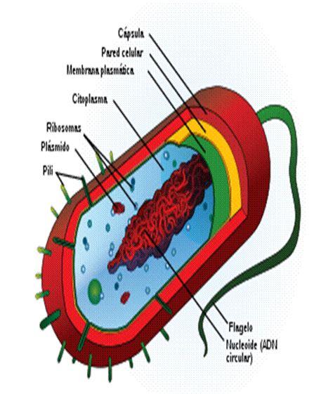 Partes de la celula procariota - Imagui