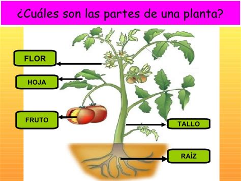 Partes de la planta  preescolar    Imagui