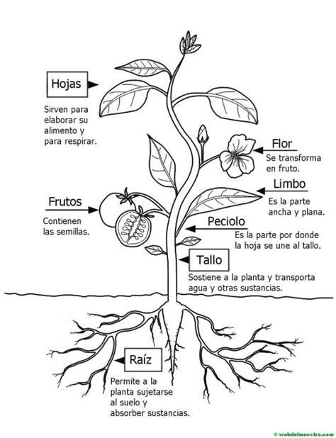 Partes de una planta para niños de Primaria   Web del maestro