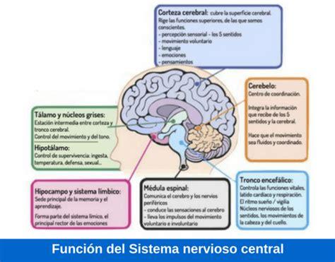 Partes del sistema nervioso central y sus funciones