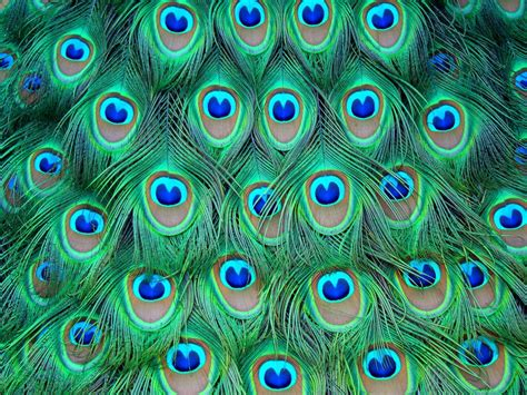 Peacock Feather Backgrounds   Wallpaper Cave