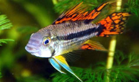 Peces de acuario - Pececitos.com