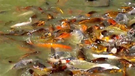 Peces de colores gigantes comiendo con tortugas y patos en ...