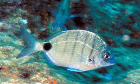 Peces del mar Mediterraneo - Imagui