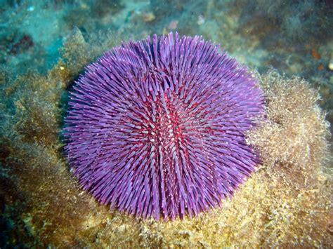 Peces del mar mediterraneo/Invertebrados/29