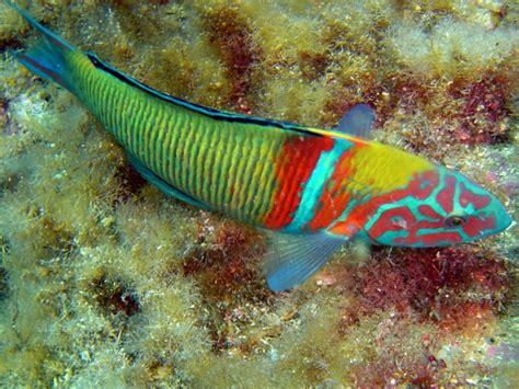 Peces del mar mediterraneo/Peces/42