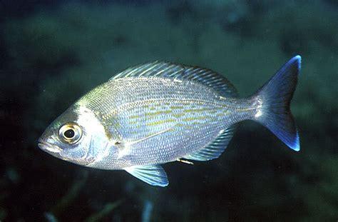 Peces mediterraneo - Imagui
